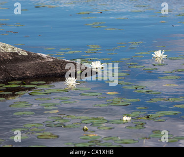 Water lillies on Northern Vermont lake - Stock Image