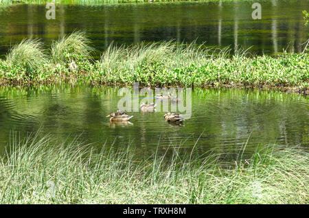 View of a family of ducks in the Oles pond. Aran valley in the Catalan Pyrenees, Spain - Stock Image