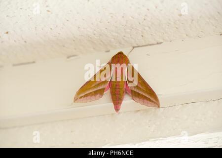 Deilephila elpenor, Elephant Hawk moth, Wales, UK - Stock Image