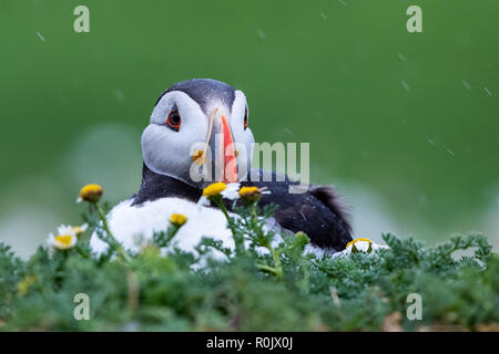 Atlantic Puffin (Fratercula arctica) in clifftop camomile vegetation during a light rain shower, Skomer Island, Wales - Stock Image