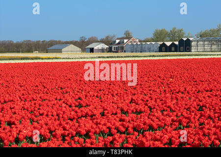 Lisse, Holland - April 18, 2019: Traditional Dutch tulip field with rows of red flowers and greenhouses in the background - Stock Image