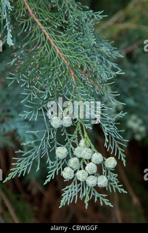 Lawsons Cypress, Port Orford-cedar (Chamaecyparis lawsoniana), variety: Triomf van Boskoop. Twig with cones. - Stock Image