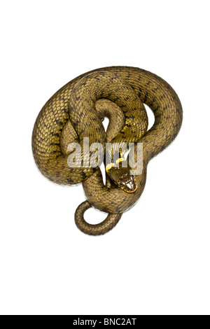 Cutout of grass snake. - Stock Image
