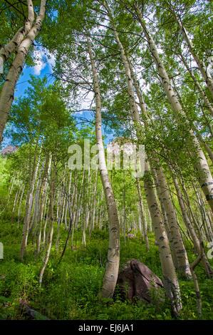 Aspen Forest - Stock Image
