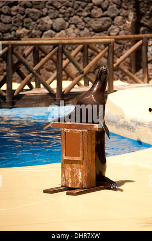sea lion standing at podium preforming tricks - Stock Image