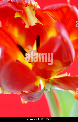 red parrot tulip stem, close up of perianth, stigma and anthers - nurture Jane Ann Butler Photography JABP1809 - Stock Image