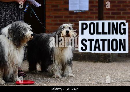 Brutus and Oscar (right) wait for their owners to cast their votes at a polling station for the European Parliament election. - Stock Image