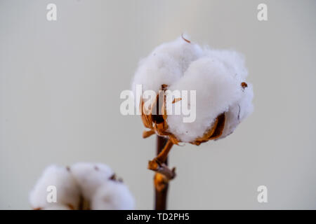 Cotton is a soft, fluffy staple fiber that grows in a boll, or protective capsule, around the seeds of cotton plants of the genus Gossypium. The fiber - Stock Image