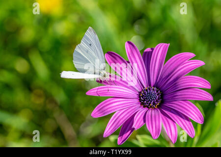 Green veined butterfly collecting nectar pollen from Purple African Daisy (Osteospermum Tresco Purple) - Stock Image