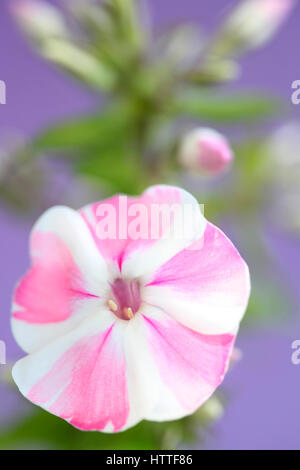 pink and white candy-striped phlox flower still life Jane Ann Butler Photography JABP1886 - Stock Image