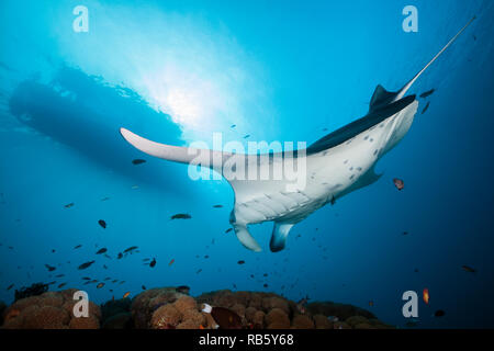 Reef Manta Ray over Cleaning Station, Manta alfredi, Indian Ocean, Maldives - Stock Image