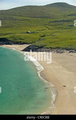 Atlantic grey seals (Halichoerus grypus) coming ashore on beach at island of Mingulay, Western Isles, Scotland. - Stock Image