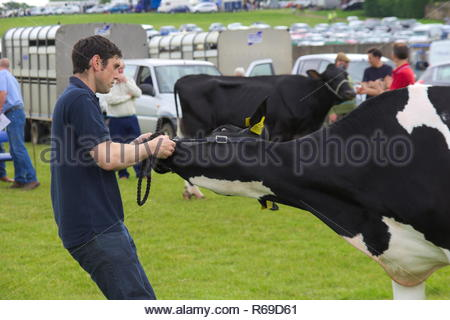 Male farmer trying to get a cow to move at the East Kilbride Open Cattle show 2014. - Stock Image