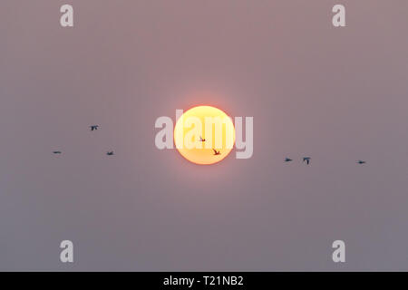 Mousehole, Cornwall, UK. 30th Mar, 2019. UK Weather. Early morning mist soon lifted at sunrise, with the promise of another fine day ahead for south west Cornwall. Gannets flying in front of the early morning sun. Credit: Simon Maycock/Alamy Live News - Stock Image