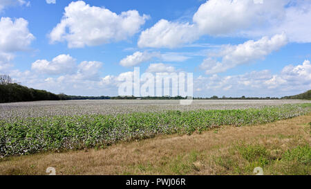 Large cotton field on a farm in Alabama, Georgia or Mississippi ready for harvest, in the USA. - Stock Image