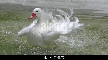 White duck splashing in the water at Cotswold Wildlife Park, Burford, Oxfordshire, UK - Stock Image