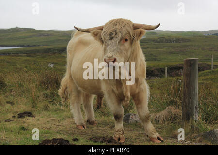 highland cow on the island of lewis and Harris - Stock Image