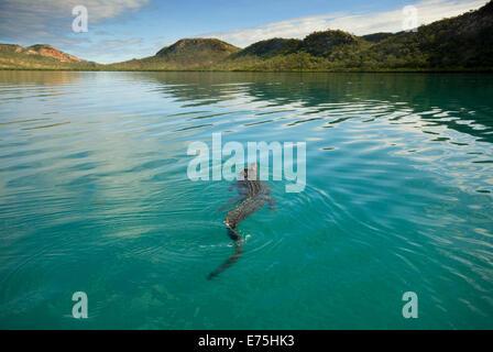 Australian Saltwater Crocodile, Western Australia - Stock Image
