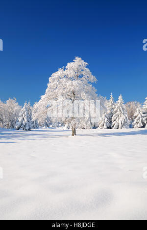 Tree covered with ice in winter - Stock Image