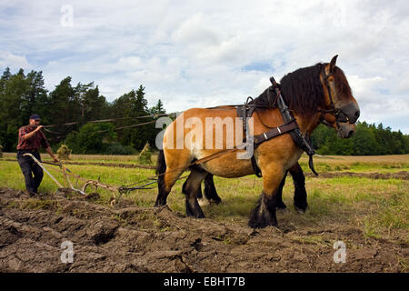 Ploughing a field in the old fashioned way in Sweden, using horses strapped to a plough. - Stock Image