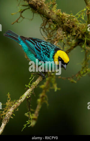 Saffron-crowned Tanager (Tangara xanthocephala) perched on a branch in the Andes mountains of Colombia. - Stock Image
