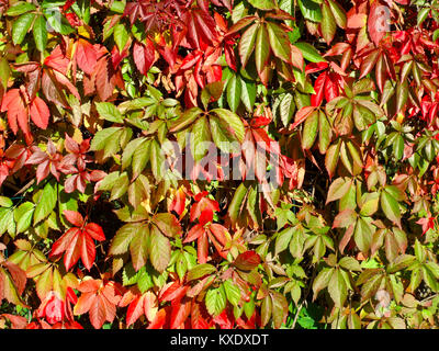 Virginia creeper colorful leaves on autumn close up - Stock Image