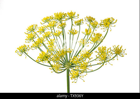 Wild fennel flowers isolated on white background - Stock Image