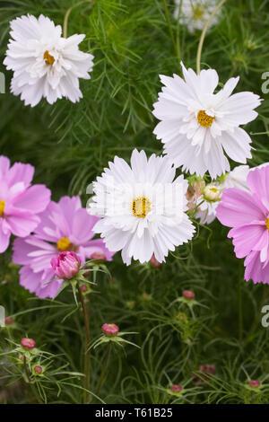 Cosmos bipinnatus flowers in the garden. - Stock Image