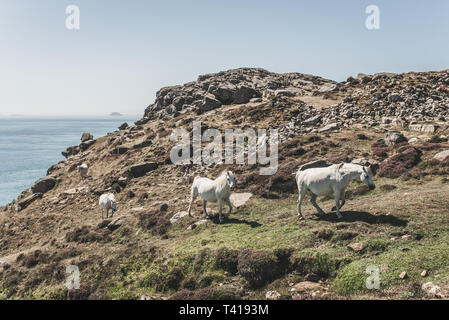 Four white wild horses running along St David's Head,  Pembrokeshire, Wales, United Kingdom - Stock Image