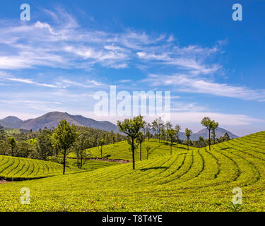 Horizontal aerial view across the tea plantations at Eravikulam National Park in Munnar, India. - Stock Image