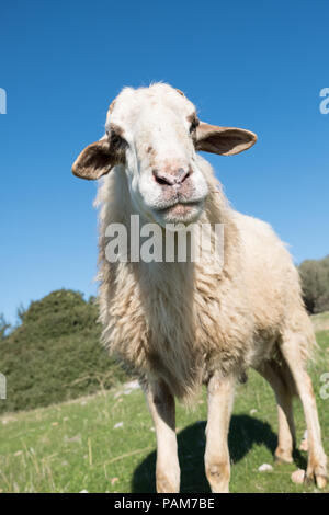 Mountain sheep standing in the blue sky high on the hills of Saronida grazing, East Attica, Greece, Europe. - Stock Image