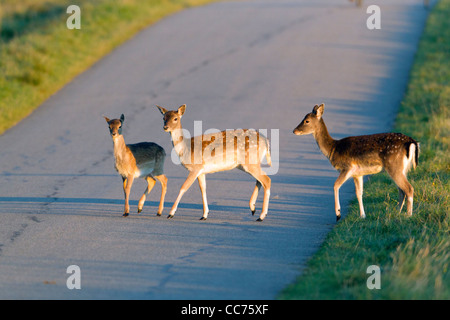 Fallow Deer (Dama dama), Three Fawns Crossing Road, Sjaelland, Denmark - Stock Image