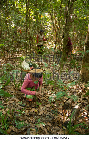 Mato Grosso State, Brazil. A Kayapo Indian woman with a traditional design basket, but made of plastic binding tape, collects Cumaru (Dipterix odorata, Tonka beans) from the forest. - Stock Image