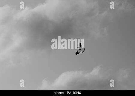 Mourning Dove (Zenaida macroura) in flight - Stock Image