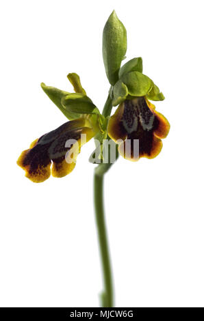 Two open flowers of wild Sombre bee orchid (Ophrys fusca subsp. bilunulata), also know as dark bee orchid, isolated over a white background. Arrabida  - Stock Image