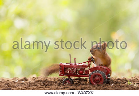 young red squirrel with a tractor - Stock Image
