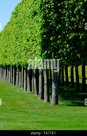avenue of trees at houghton hall, norfolk, england - Stock Image