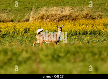 A white-tailed deer with tail in alarm posture in a field near Sussex, Kings County, New Brunswick, Canada. - Stock Image