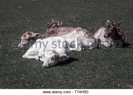 The albino deer are chilling - Stock Image