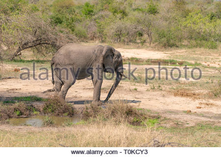 African Elephant (Loxodonta africana) - Stock Image