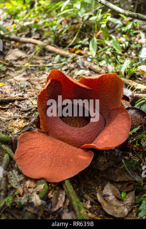 Flowering examples of the Rafflesia arnoldii, the worlds largest flower, found in the rainforest of Malaysia. - Stock Image