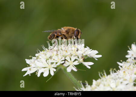 Close up of bee on blossom - Stock Image