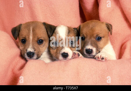 litter of jack russell puppies - Stock Image