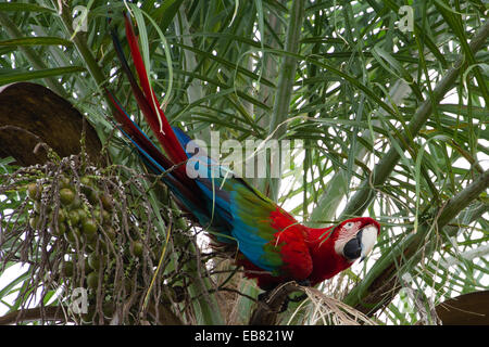 Red-and-green Macaw (Ara chloropterus) aka Green-winged Macaw - Stock Image