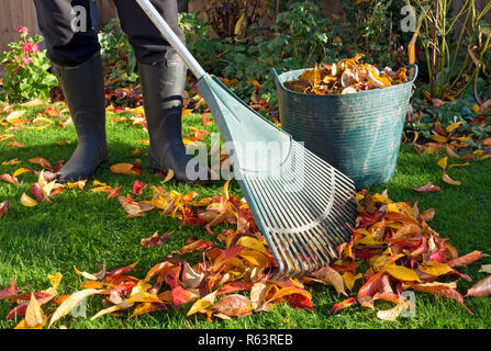 Man collecting fallen leaves in autumn England UK United Kingdom GB Great Britain - Stock Image