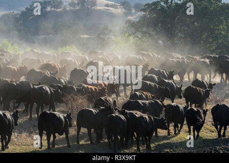 USA, California, Parkfield, V6 Ranch a herd of black and brown cows kicking up dust from the rear - Stock Image