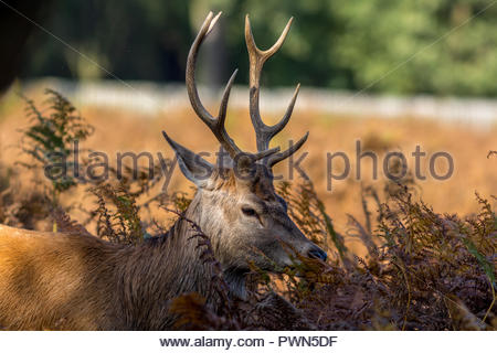 A young red deer stag with a broken antler point hiding in bracken. - Stock Image