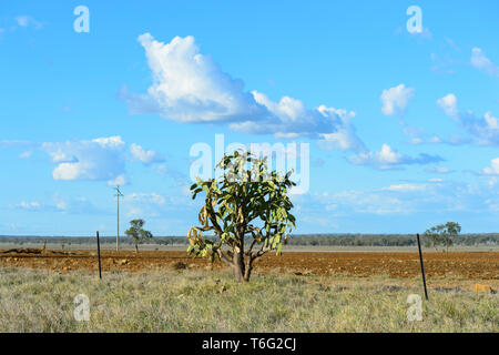 Prickly Pear Cactus (Genus Opuntia) are an introduced invasive plant species in Australia. Seen in North Queensland, QLD, Australia - Stock Image