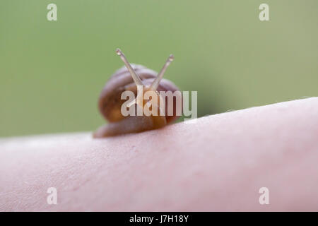 Snail on arm - Stock Image