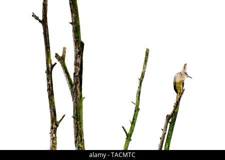 Ardeidae bird above a tree branch aiming its prey - Stock Image